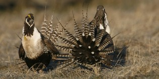 More gas, oil drilling restrictions sought to save sage grouse