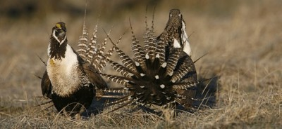 sage grouse