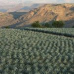 Mexico tequila maker has a shot at turning agave waste into fuel